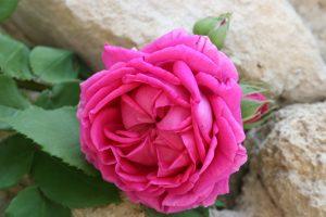 marquise de Sévigné rose