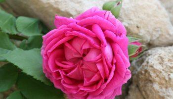 Grignan – Pierres et roses anciennes