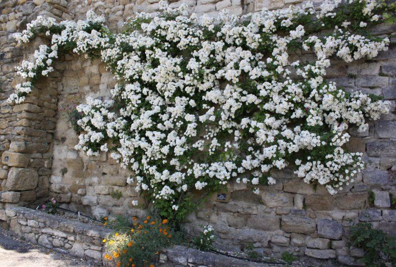 Circuit des roses anciennes dans le village à Grignan - 2