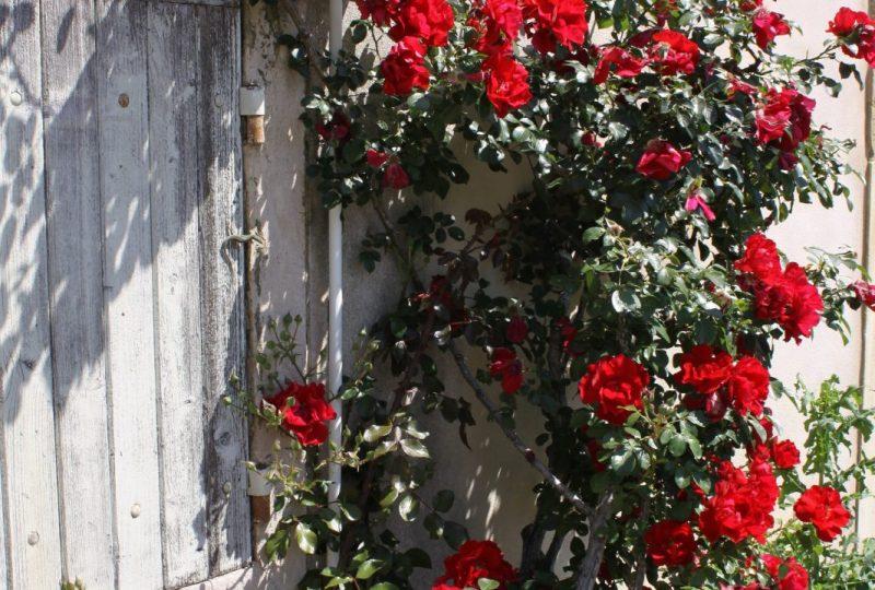 Circuit des roses anciennes dans le village à Grignan - 3