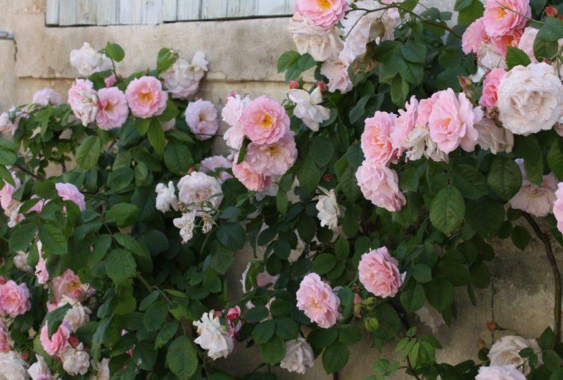 Circuit des roses anciennes dans le village à Grignan - 4