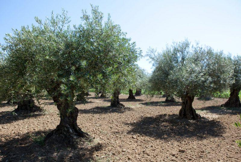 L'O Provençale à Saint-Pantaléon-les-Vignes - 1