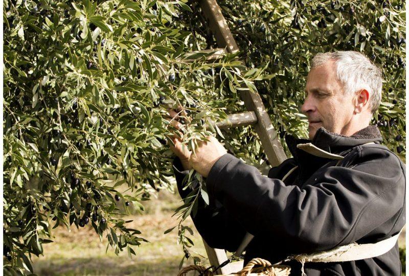 Domaine Piallat – Olive à Montbrison-sur-Lez - 2
